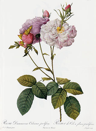 Rosa Damascena prolifera